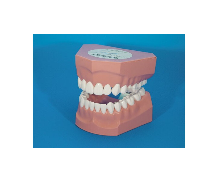 Zahnpflegemodell P3B-705